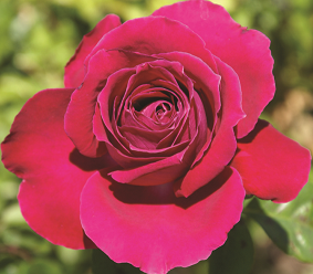 Mangaung Rose Festival Kovsie