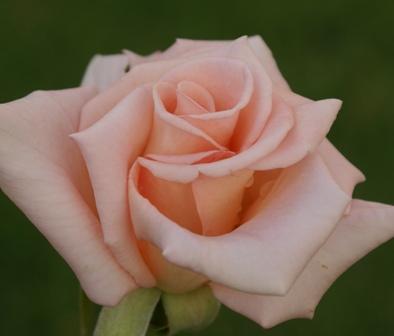 Mangaung Rose Festival Nicolette