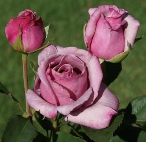 Mangaung Rose Festival Steve Hofmeyer