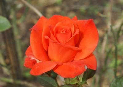 Mangaung Rose Festival - Vrystaat Rose