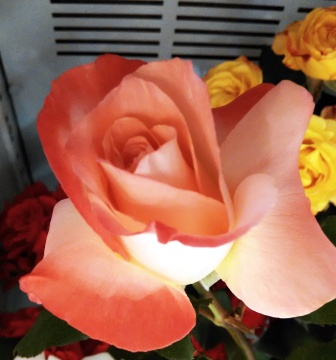 Mangaung Rose Festival 2014 10