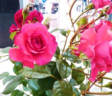 Mangaung Rose Festival 2014 13